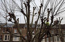 UK ENGLAND LONDON 11DEC13 - Tree surgeons prune a sycamore tree in Shirland Road, Westminster, west London.<br /> <br /> jre/Photo by Jiri Rezac<br /> <br /> &copy; Jiri Rezac 2013