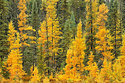 Larches & black spruce in autumn<br /> near Ignace<br /> Ontario<br /> Canada