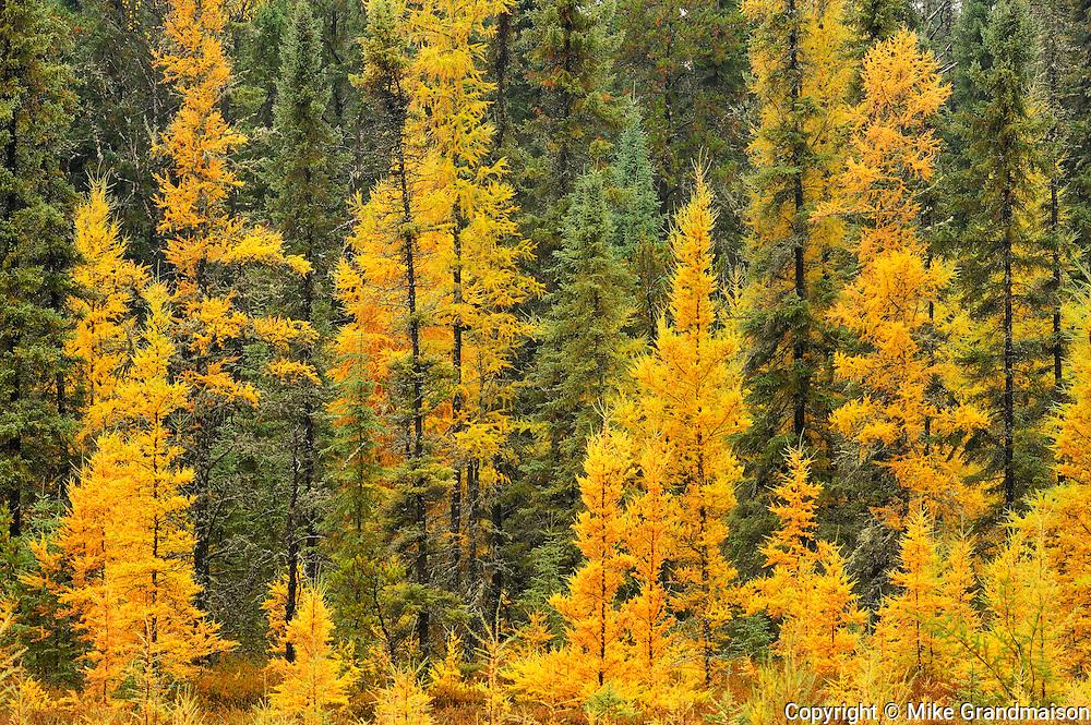 Larches & black spruce in autumn<br /> near Ignace<br /> Ontario<br /> Canada