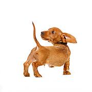 Judi - Wire Haired Daschund Puppy