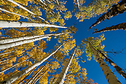 Aspen trees raise their fall yellow leaves to the blue sky in Maroon Bells-Snowmass Wilderness of White River National Forest. Aspen village, Colorado, USA.