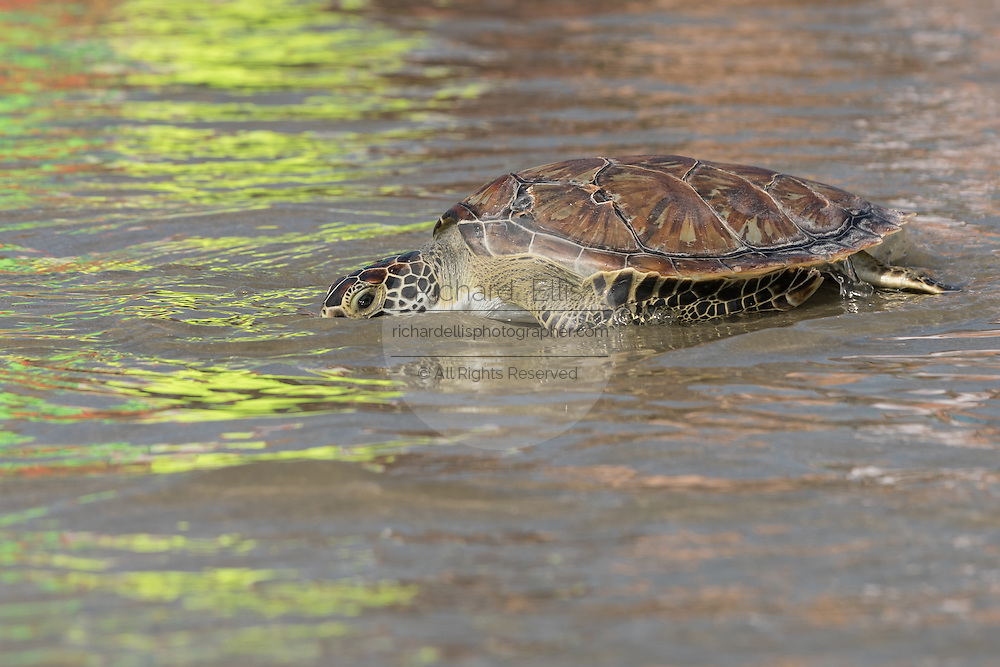 A rehabilitated green sea turtle crawls back to the Atlantic Ocean during a release June 30, 2016 in Isle of Palms, South Carolina. The turtle was rehabilitated at the South Carolina Aquarium sea turtle hospital in Charleston.