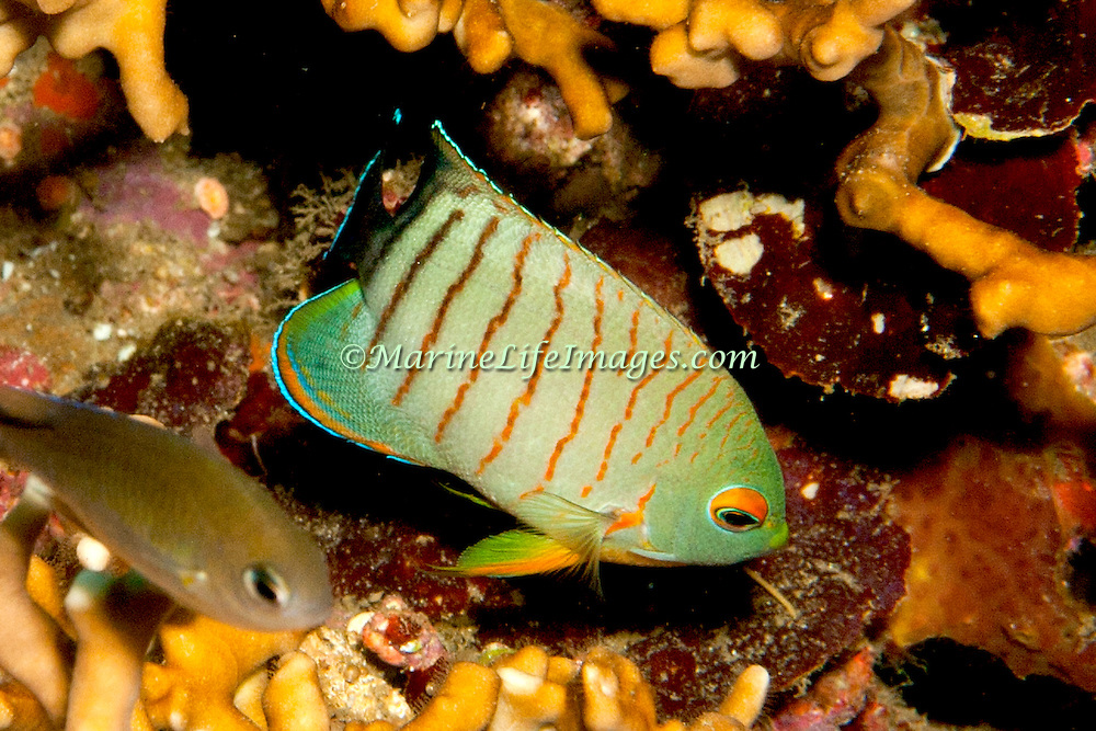 Blacktail Angelfish inhabit reefs. Picture taken Bail, Indonesia