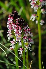 Neotinea, Aaangebrande orchis