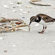 Ruddy Turnstone foraging on a Florida beach