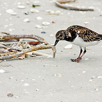 Ruddy Turnstone foraging on a Florida beach