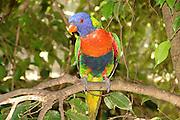 Multi colored parrot