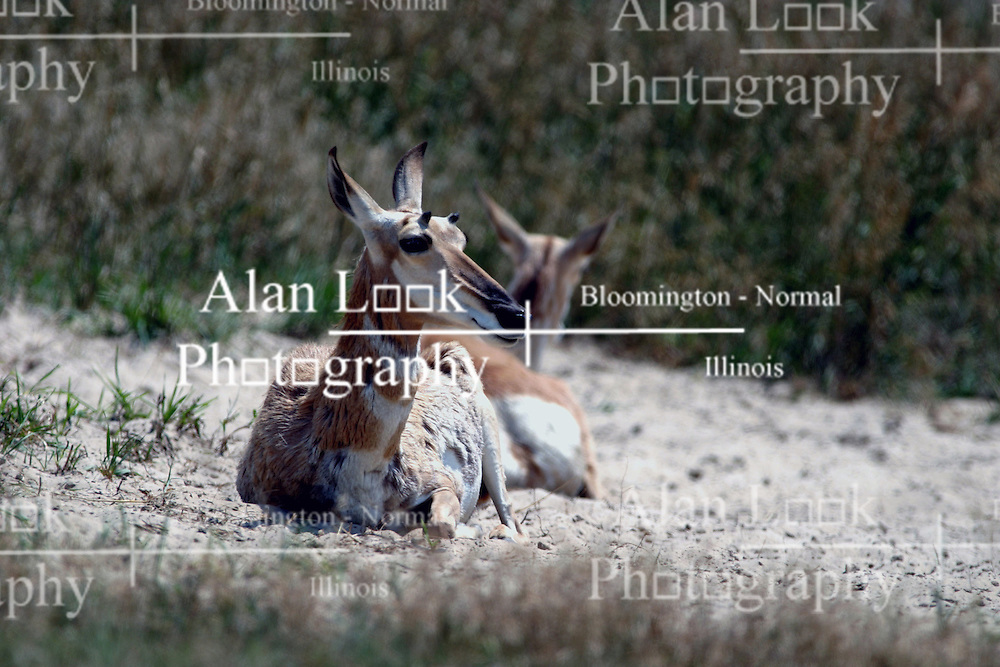 01 July 2006  A quick vacation through Iowa to Omaha.  ..pronghorn antelope (Photo by Alan Look)