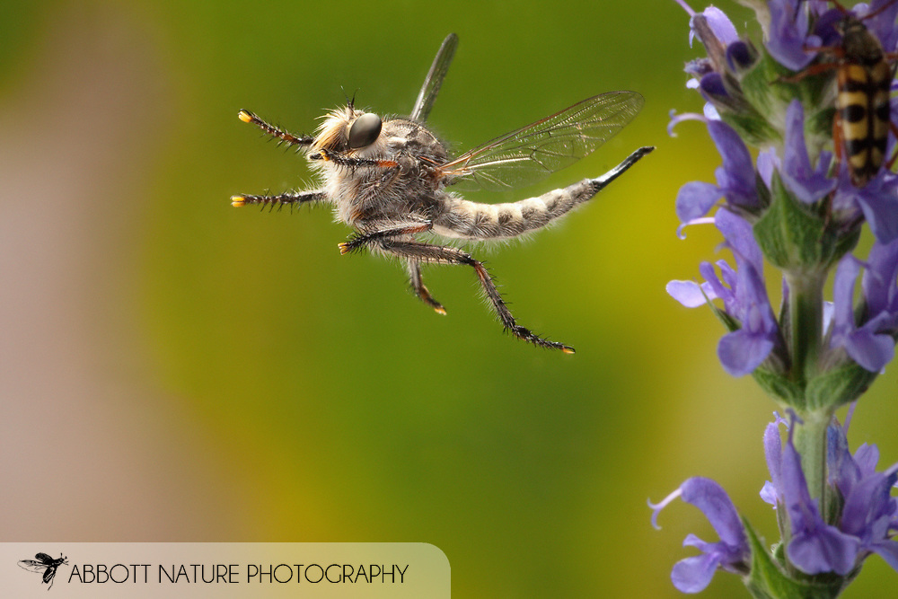 Robber Fly (Efferia prob. snowi) - female<br /> TEXAS: Travis Co.<br /> Wild Basin Preserve; Austin<br /> 7-April-2011<br /> J.C. Abbott