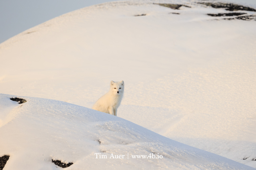 An arctic fox has some of the most effective camouflage in the animal kingdom.