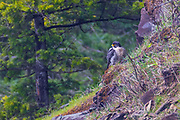 A peregrine falcon (Falco peregrinus) perches on a bluff near its nest near Snoqualmie Falls near Snoqulamie, Washington. The peregrine falcon feeds almost exclusively on medium-sized birds and is known for its incredible speed as it dives to catch its prey, reaching speeds of more than 200 miles per hour (320 km/h).