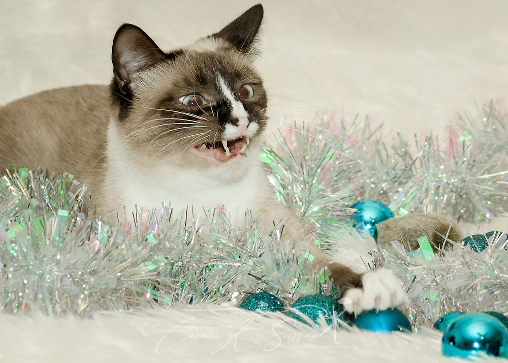 Twinkie, a one-year-old Siamese cat, plays with Christmas ornaments, Dec. 26, 2014, in Coden, Alabama. (Photo by Carmen K. Sisson/Cloudybright)