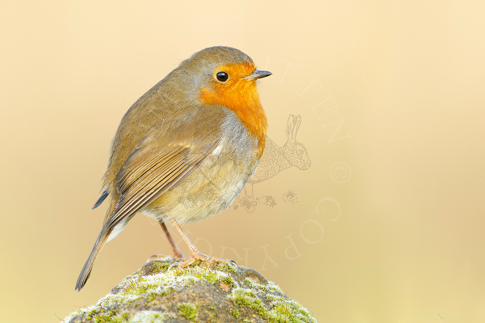 European Robin (Erithacus rubecula) adult,perched weathered rock, South Norfolk, UK. November.