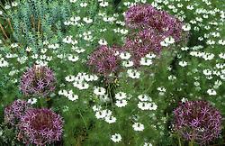 The gravel garden with Allium christophii and Nigella