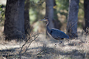 Great Blue Heron in Oak woodland