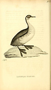 Little Grebe from the 1825 volume (Aves) of 'General Zoology or Systematic Natural History' by British naturalist George Shaw (1751-1813). Shaw wrote the text (in English and Latin). He was a medical doctor, a Fellow of the Royal Society, co-founder of the Linnean Society and a zoologist at the British Museum. Engraved by Mrs. Griffith