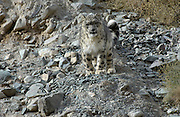 LADAKH, INDIA: Adult male snow leopard (unica unica) descends rocky slope in Hemis National Park.