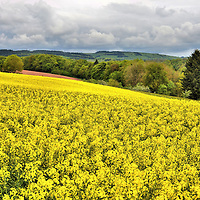Yellow Fields of Rapeseed Flowers in Countryside, Luxembourg <br /> In the springtime, the green rolling hills in Luxembourg&rsquo;s countryside are carpeted with yellow fields of rapeseed flowers.  They are a spectacular sight.  The plant&rsquo;s seeds are used for producing cooking oil, biodiesel and animal feed.  A significant share of the sparsely populated northern region of Luxembourg, called Oesling, is devoted to small, family-owned farms.