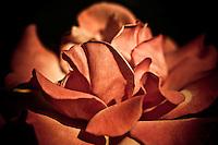 A velvety rose in full summer bloom.