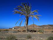 Date palm tree against deep blue sky in semi-desert near Pajara, Fuerteventura, Canary Islands, Spain