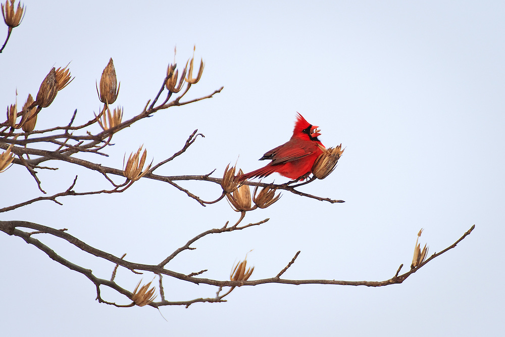 A winter northern cardinal (Cardinalis cardinalis) feeding on the seeds of a tulip tree (Liriodendron tulipifera), Conowingo Dam, Susquehanna River, Conowingo, Maryland.