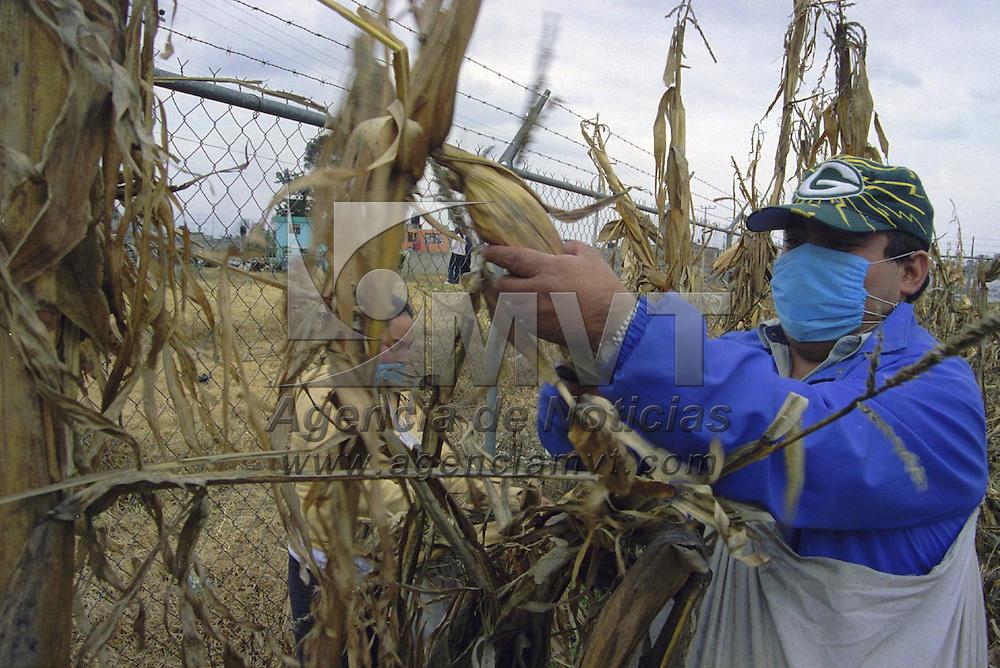 Toluca, M&eacute;x.- Habitantes de la comunidad de San Lorenzo Tepaltitl&aacute;n cosechan los granos que servir&aacute;n para la siembra del pr&oacute;ximo a&ntilde;o . Agencia MVT / Mario B. Arciniega. (FILM)<br /> <br /> NO ARCHIVAR - NO ARCHIVE
