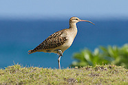 Hawaii migratory shorebird photos