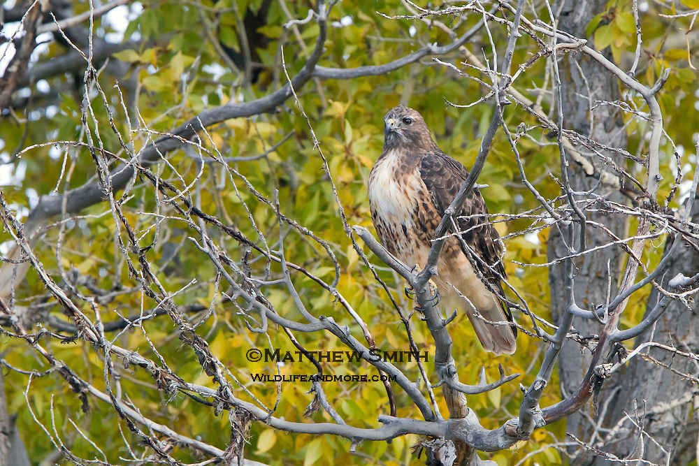 A Red Tail Hawk perched in a tree keeping an eye on his surroundings.