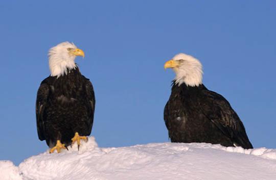 Bald Eagle, (Haliaeetus leucocephalus) Pair. Alaska.