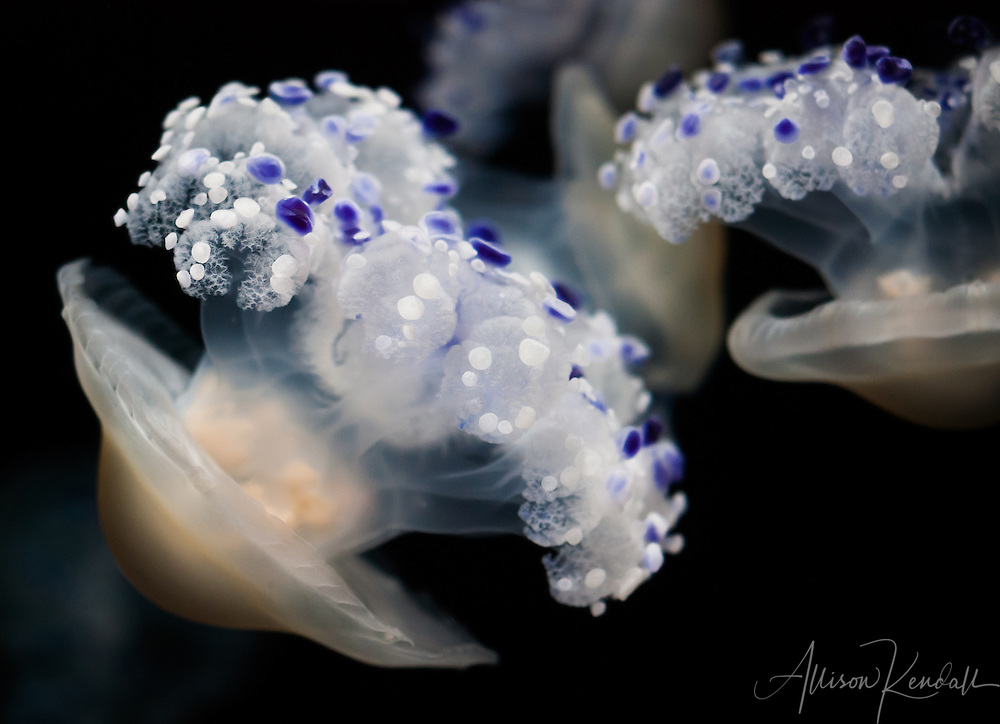 Blue and white spotted polka dot jellyfish drifting through the night