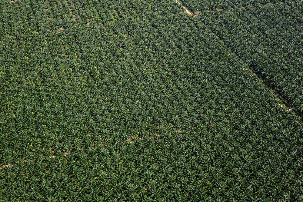 Sime Darby palm oil plantation. Carey Island, Selangor, Malaysia.Today, Sime Darby is one of the largest palm oil producers in the world, producing about 6% of global supply. The company has a total planted area over 500,000 hectares and a land bank over 900,000 hectares. About two-thirds of Sime Darby's palm oil production comes from Malaysia, and one-third from Indonesia. Since 1960, palm oil plantations have increased at a rapid pace and palm oil has become the most important commodity crop in Malaysia. In 2011, the total planted area was 4.9 million hectares. Malaysia is the world's second largest producer of palm oil.