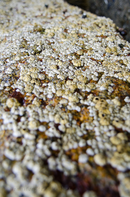 A mass of barnacles covering a granite boulder on the coast of Maine.