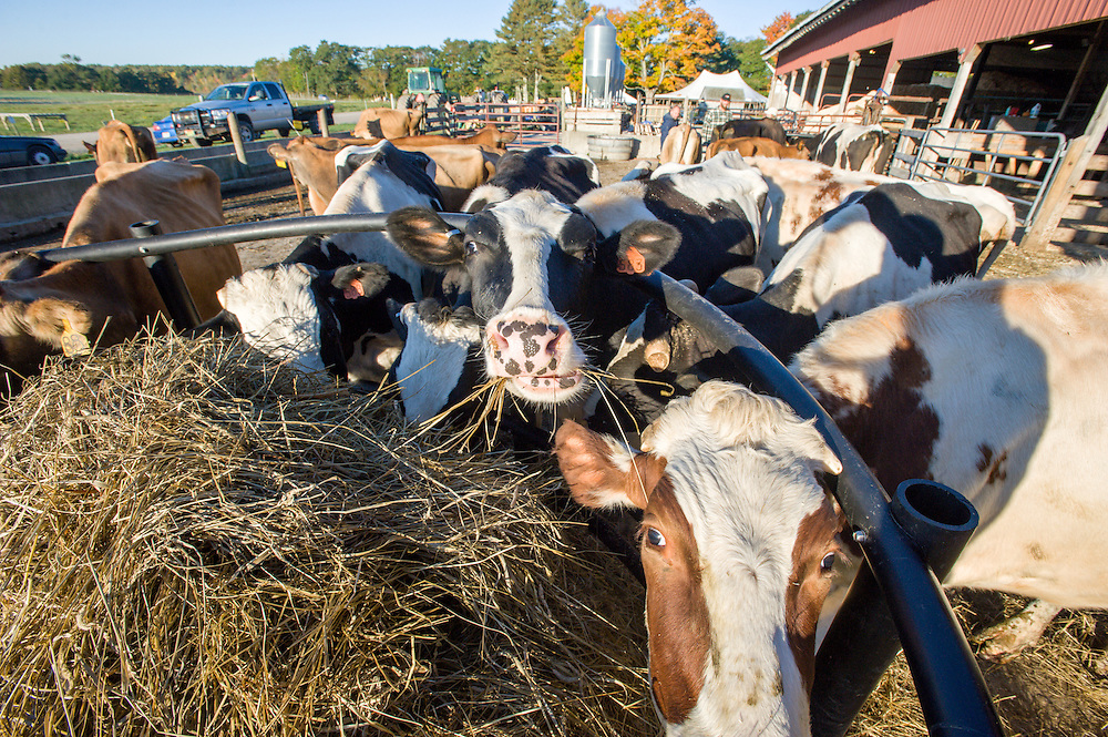 Dairy cattle on a farm i Freeport, Maine