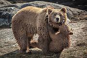 Angry Bear cub, taken at bear park, Norway | Sint Bjørnunge, Bjørneparken Flå, Norge