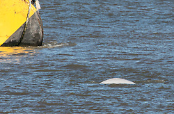 © Licensed to London News Pictures. 26/09/2018. Gravesend, UK. A white Beluga whale has been spotted in the Thames near Gravesend for the second day running. Local people have made the walk out along the foreshore to watch the whale feeding near barges. Photo credit : Rob Powell/LNP