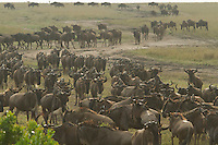 Hypnotic movement of the herds back and forth to the edge of the Mara river banks persists until one of them decides to take the risk of crossing.