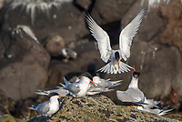 Elegant Terns on Isla Rasa in the Sea of Cortez, Baja California, Mexico.