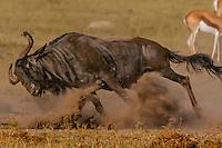 Blue wildebeest running, Nxai Pan National Park, Botswana.
