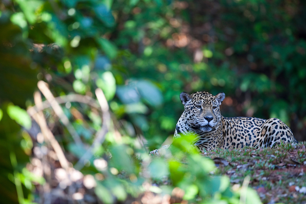Parauapebas_PA, Brasil...Floresta Nacional de Carajas em Parauapebas, Para. Na foto Onca-Pintada (Panthera onca)...The Carajas National Forest, Para. In this photo a jaguar (Panthera onca)...IMAGENS: JOAO MARCOS ROSA / NITRO..