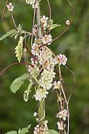 Greater Dodder - Cuscuta europaea - a parasite of Common Nettle Urtica dioica