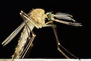 Mosquito (Culex pipiens) male emerging from aquatic pupa, Kiel, Germany | Männliche Hausmücke (Culex pipiens)