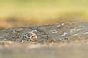 The Burrowing Owl nest in burrows, usually excavated by prairie dogs and squirrels.  These wild burrowing owls were found in Northern California.