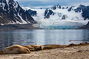 A small colony of Walrus rest on the beach with a view of the glacial Svalbard landscape.