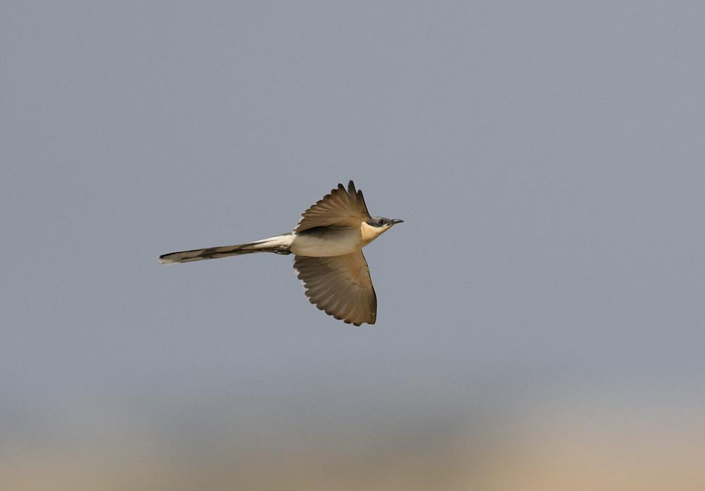 Great Spotted Cuckoo - Clamator glandarius