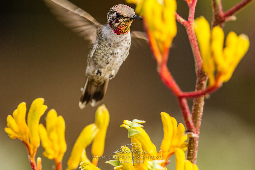 Anna's Hummingbird sipping nectar from a Kangaroo Paw plant
