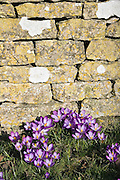 Crocuses grow beside dry stone wall, Shipton Under Wychwood, The Cotswolds, United Kingdom