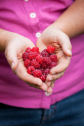 Handful of picked raspberries