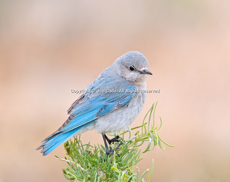 A female mountain bluebird looks for food.