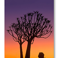 Quiver tree at sunset in Kokerboom Forest, Namibia.