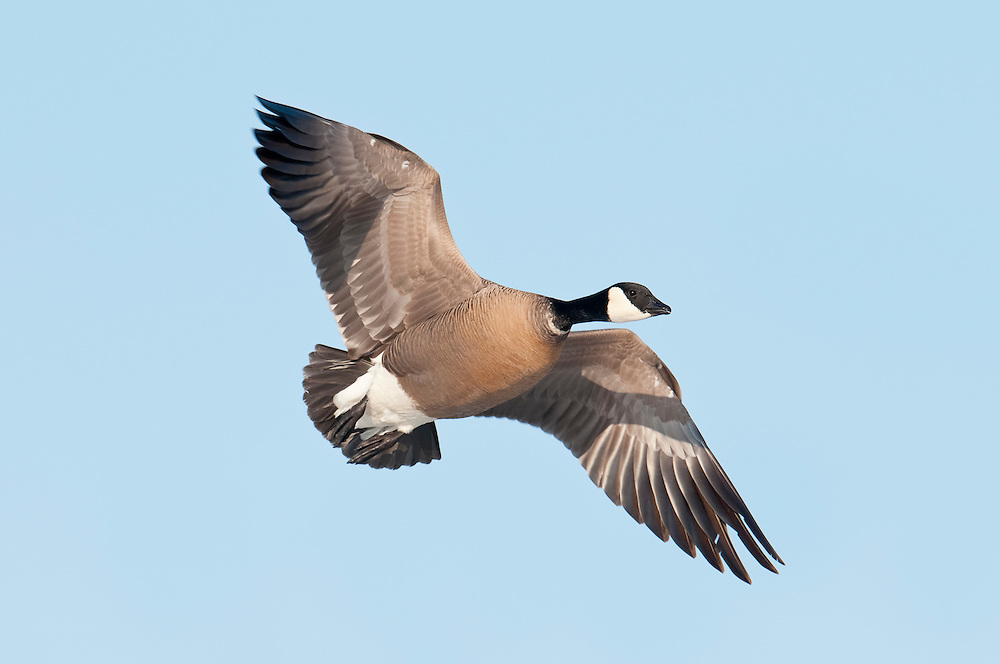 Cackling Goose, Branta hutchinsii, Yukon Delta NWR, Alaska